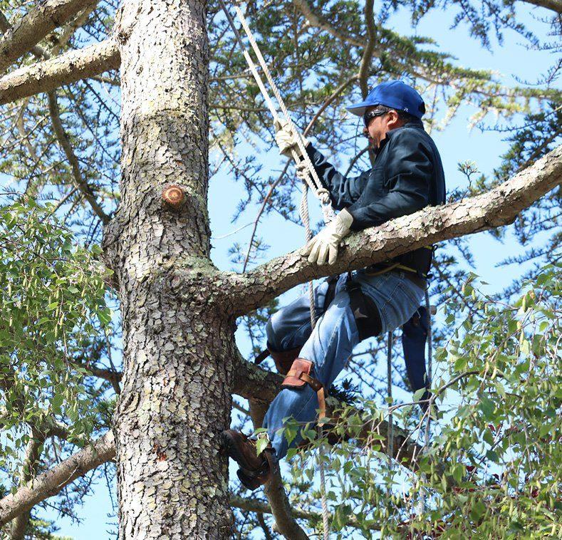 Cleaning Out a Cedar in Cotati