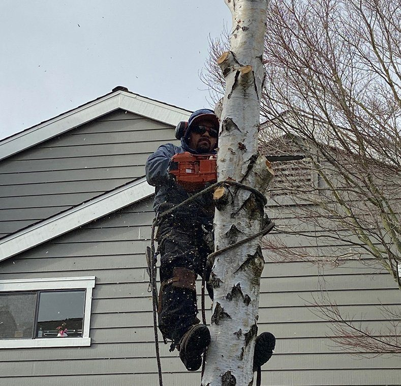 Birch Removal at Drakes Homeowners Association